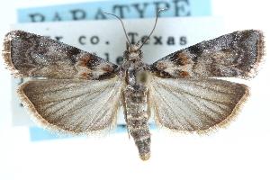 (Dioryctria caesirufella - CCDB-28997-C11)  @15 [ ] CreativeCommons - Attribution Non-Commercial Share-Alike (2016) CBG Photography Group Centre for Biodiversity Genomics