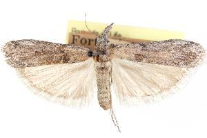 (Eumysia maidella - CCDB-28999-A09)  @11 [ ] CreativeCommons - Attribution Non-Commercial Share-Alike (2016) CBG Photography Group Centre for Biodiversity Genomics
