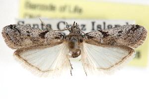 (Laetilia dilatifasciella - CCDB-29001-D10)  @14 [ ] CreativeCommons - Attribution Non-Commercial Share-Alike (2016) CBG Photography Group Centre for Biodiversity Genomics
