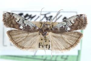 (Salebriaria squamopalpiella - CCDB-28995-F09)  @13 [ ] CreativeCommons - Attribution Non-Commercial Share-Alike (2016) CBG Photography Group Centre for Biodiversity Genomics