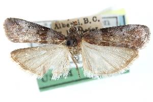 (Sciota fraudifera - CCDB-28995-H06)  @11 [ ] CreativeCommons - Attribution Non-Commercial Share-Alike (2016) CBG Photography Group Centre for Biodiversity Genomics