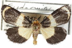(Eudesmia monon - CCDB-29060-H04)  @11 [ ] CreativeCommons - Attribution Non-Commercial Share-Alike (2016) CBG Photography Group Centre for Biodiversity Genomics