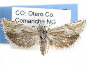 (Eucosma salidana - CCDB-29454-D02)  @11 [ ] CreativeCommons - Attribution Non-Commercial Share-Alike (2017) CBG Photography Group Centre for Biodiversity Genomics