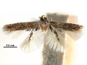(Acalyptris postalatratus - CCDB-29482-A01)  @11 [ ] CreativeCommons - Attribution Non-Commercial Share-Alike (2017) CBG Photography Group Centre for Biodiversity Genomics