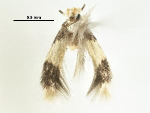 (Stigmella plumosetaeella - CCDB-29482-D08)  @11 [ ] CreativeCommons - Attribution Non-Commercial Share-Alike (2017) CBG Photography Group Centre for Biodiversity Genomics