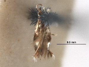 (Stigmella argyrodoxa - CCDB-29482-F10)  @11 [ ] CreativeCommons - Attribution Non-Commercial Share-Alike (2017) CBG Photography Group Centre for Biodiversity Genomics
