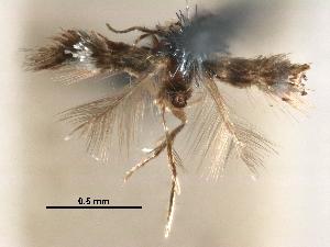 (Stigmella argyrodoxa - CCDB-29482-F11)  @11 [ ] CreativeCommons - Attribution Non-Commercial Share-Alike (2017) CBG Photography Group Centre for Biodiversity Genomics