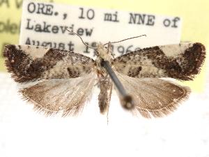 (Epinotia purpuriciliana - CCDB-29483-D07)  @11 [ ] CreativeCommons - Attribution Non-Commercial Share-Alike (2017) CBG Photography Group Centre for Biodiversity Genomics