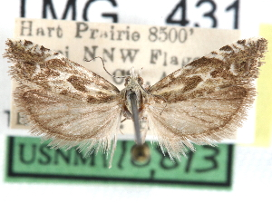 (Eucosma viridis - CCDB-29483-E09)  @11 [ ] CreativeCommons - Attribution Non-Commercial Share-Alike (2017) CBG Photography Group Centre for Biodiversity Genomics
