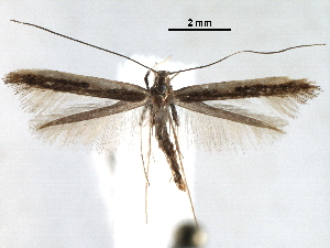 (Caloptilia cruzorum - CCDB-29484-C05)  @11 [ ] CreativeCommons - Attribution Non-Commercial Share-Alike (2017) CBG Photography Group Centre for Biodiversity Genomics