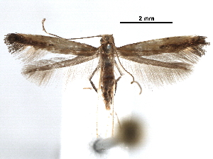 (Caloptilia dondavisi - CCDB-29484-C06)  @11 [ ] CreativeCommons - Attribution Non-Commercial Share-Alike (2017) CBG Photography Group Centre for Biodiversity Genomics