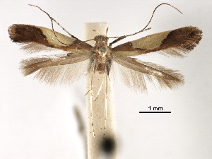 (Caloptilia chrysolampra - CCDB-29485-B07)  @11 [ ] CreativeCommons - Attribution Non-Commercial Share-Alike (2017) CBG Photography Group Centre for Biodiversity Genomics