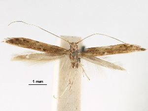 (Caloptilia elaeas - CCDB-29485-C04)  @11 [ ] CreativeCommons - Attribution Non-Commercial Share-Alike (2017) CBG Photography Group Centre for Biodiversity Genomics