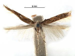 (Caloptilia linearis - CCDB-29485-C09)  @11 [ ] CreativeCommons - Attribution Non-Commercial Share-Alike (2017) CBG Photography Group Centre for Biodiversity Genomics