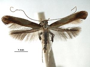 (Caloptilia rhodinella - CCDB-29485-D07)  @11 [ ] CreativeCommons - Attribution Non-Commercial Share-Alike (2017) CBG Photography Group Centre for Biodiversity Genomics