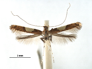 (Caloptilia theivora - CCDB-29485-E06)  @11 [ ] CreativeCommons - Attribution Non-Commercial Share-Alike (2017) CBG Photography Group Centre for Biodiversity Genomics