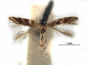 (Cameraria virgulata - CCDB-29485-F01)  @11 [ ] CreativeCommons - Attribution Non-Commercial Share-Alike (2017) CBG Photography Group Centre for Biodiversity Genomics