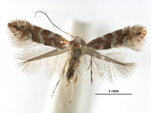 (Phyllonorycter hancola - CCDB-29486-C01)  @11 [ ] CreativeCommons - Attribution Non-Commercial Share-Alike (2017) CBG Photography Group Centre for Biodiversity Genomics