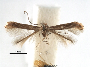 (Phyllonorycter iteina - CCDB-29486-C09)  @11 [ ] CreativeCommons - Attribution Non-Commercial Share-Alike (2017) CBG Photography Group Centre for Biodiversity Genomics