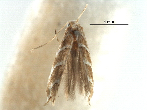 (Phyllonorycter obliquifascia - CCDB-29486-C12)  @11 [ ] CreativeCommons - Attribution Non-Commercial Share-Alike (2017) CBG Photography Group Centre for Biodiversity Genomics