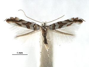 (Phyllonorycter saportella - CCDB-29486-D07)  @11 [ ] CreativeCommons - Attribution Non-Commercial Share-Alike (2017) CBG Photography Group Centre for Biodiversity Genomics