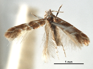 (Phyllonorycter triarcha - CCDB-29486-D10)  @11 [ ] CreativeCommons - Attribution Non-Commercial Share-Alike (2017) CBG Photography Group Centre for Biodiversity Genomics