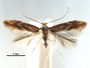 (Phyllonorycter turanica - CCDB-29486-D12)  @11 [ ] CreativeCommons - Attribution Non-Commercial Share-Alike (2017) CBG Photography Group Centre for Biodiversity Genomics