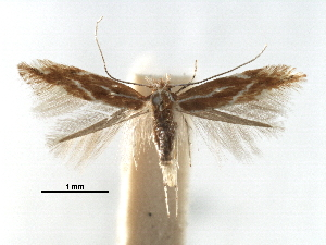 (Phyllonorycter corylifoliella - CCDB-29486-E01)  @15 [ ] CreativeCommons - Attribution Non-Commercial Share-Alike (2017) CBG Photography Group Centre for Biodiversity Genomics