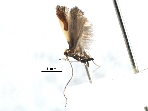 (Caloptilia porphyretica - CCDB-29488-C12)  @11 [ ] CreativeCommons - Attribution Non-Commercial Share-Alike (2017) CBG Photography Group Centre for Biodiversity Genomics