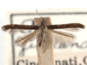 (Caloptilia juglandiella - CCDB-29488-D10)  @11 [ ] CreativeCommons - Attribution Non-Commercial Share-Alike (2017) CBG Photography Group Centre for Biodiversity Genomics