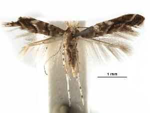 (Cameraria agrifoliella - CCDB-29488-F11)  @11 [ ] CreativeCommons - Attribution Non-Commercial Share-Alike (2017) CBG Photography Group Centre for Biodiversity Genomics