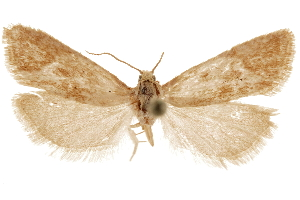 (Pelochrista aurantiaca - CCDB-29464-C08)  @11 [ ] CreativeCommons - Attribution Non-Commercial Share-Alike (2018) CBG Photography Group Centre for Biodiversity Genomics