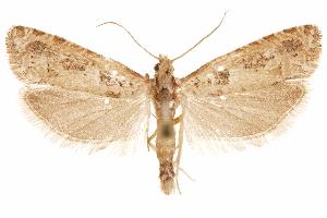 (Pelochrista daemonicana - CCDB-29464-E01)  @11 [ ] CreativeCommons - Attribution Non-Commercial Share-Alike (2018) CBG Photography Group Centre for Biodiversity Genomics