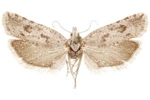 (Pelochrista fremonti - CCDB-29464-E05)  @11 [ ] CreativeCommons - Attribution Non-Commercial Share-Alike (2018) CBG Photography Group Centre for Biodiversity Genomics