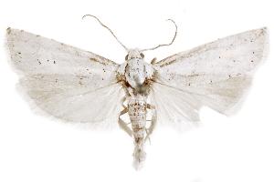 (Pelochrista piperata - CCDB-29464-H03)  @11 [ ] CreativeCommons - Attribution Non-Commercial Share-Alike (2018) CBG Photography Group Centre for Biodiversity Genomics