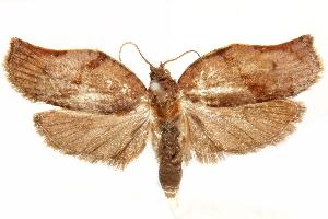 (Dynatocephala - CCDB-29466-H07)  @11 [ ] CreativeCommons - Attribution Non-Commercial Share-Alike (2017) CBG Photography Group Centre for Biodiversity Genomics