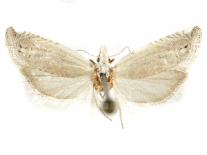 (Eucosma labiata - CCDB-29467-B06)  @11 [ ] CreativeCommons - Attribution Non-Commercial Share-Alike (2017) CBG Photography Group Centre for Biodiversity Genomics