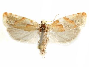 (Eucosma fulvofasciata - CCDB-29467-B10)  @11 [ ] CreativeCommons - Attribution Non-Commercial Share-Alike (2017) CBG Photography Group Centre for Biodiversity Genomics