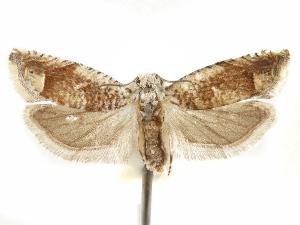 (Eucosma alabamae - CCDB-29467-C04)  @11 [ ] CreativeCommons - Attribution Non-Commercial Share-Alike (2017) CBG Photography Group Centre for Biodiversity Genomics