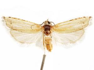 (Eucosma cibolana - CCDB-29467-D01)  @11 [ ] CreativeCommons - Attribution Non-Commercial Share-Alike (2017) CBG Photography Group Centre for Biodiversity Genomics