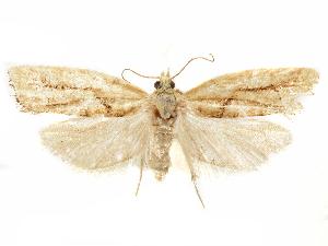 (Epinotia ephemerana - CCDB-29467-F08)  @11 [ ] CreativeCommons - Attribution Non-Commercial Share-Alike (2017) CBG Photography Group Centre for Biodiversity Genomics
