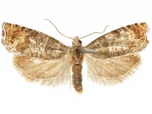 (Epinotia wrighti - CCDB-29467-F11)  @11 [ ] CreativeCommons - Attribution Non-Commercial Share-Alike (2017) CBG Photography Group Centre for Biodiversity Genomics