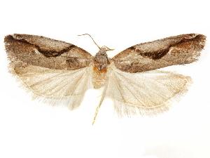 (Epinotia vernalis - CCDB-29467-G01)  @11 [ ] CreativeCommons - Attribution Non-Commercial Share-Alike (2017) CBG Photography Group Centre for Biodiversity Genomics