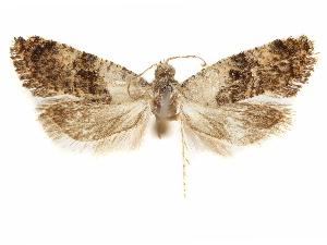 (Cochylis dormanana - CCDB-29467-G12)  @11 [ ] CreativeCommons - Attribution Non-Commercial Share-Alike (2017) CBG Photography Group Centre for Biodiversity Genomics