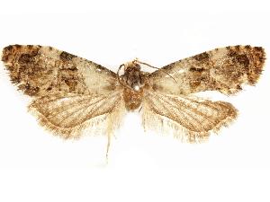 (Cochylis calderana - CCDB-29467-H02)  @11 [ ] CreativeCommons - Attribution Non-Commercial Share-Alike (2017) CBG Photography Group Centre for Biodiversity Genomics