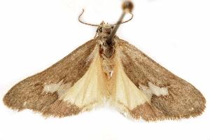 (Cisthene nexa - CCDB-29468-G05)  @11 [ ] CreativeCommons - Attribution Non-Commercial Share-Alike (2017) CBG Photography Group Centre for Biodiversity Genomics