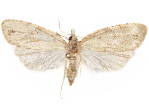 (Hynhamia - CCDB-29471-E11)  @11 [ ] CreativeCommons - Attribution Non-Commercial Share-Alike (2018) CBG Photography Group Centre for Biodiversity Genomics