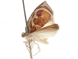 (Pseudomeritastis - CCDB-29471-F07)  @11 [ ] CreativeCommons - Attribution Non-Commercial Share-Alike (2018) CBG Photography Group Centre for Biodiversity Genomics
