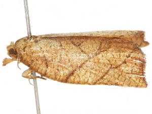 (Archipimima - CCDB-29471-H03)  @11 [ ] CreativeCommons - Attribution Non-Commercial Share-Alike (2018) CBG Photography Group Centre for Biodiversity Genomics