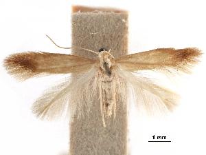 (Tischeria castaneaeella - CCDB-29472-F01)  @11 [ ] CreativeCommons - Attribution Non-Commercial Share-Alike (2018) CBG Photography Group Centre for Biodiversity Genomics
